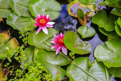 Schließen Sie oben von den schönen rosa Seerosen auf Teich, KeriKeri, Neuseeland stockbild