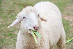 Schließen Sie oben von den Schafen, die Gras in einem Bauernhof essen Lizenzfreies Stockfoto