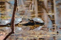 Schließen Sie oben von den Schildkröten, die in einem Teich sich sonnen lizenzfreie stockfotos