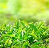 Schließen Sie oben von den Teeblättern Teeplantagen in Indien Stockfotos