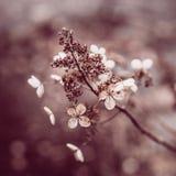 Schließen Sie oben von den trockenen Hortensieblumen, die auf Natur äußer sind stockfotos