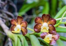 Schließen Sie oben von den Vanda-brunnea Orchideenblumen, Thailand Stockfotografie