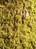 schließen Sie oben von den wachsenden grünen Moosflechtenalgen auf Baumrindeoberfläche Stockfotos