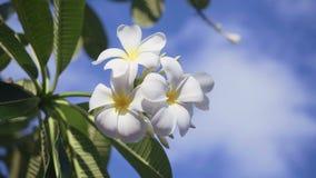 Schließen Sie oben von den weißen Frangipaniblumen vor blauem Himmel mit Wolken stock video footage