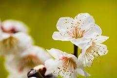 Schließen Sie oben von den weißen Pflaumenblüten Lizenzfreie Stockbilder
