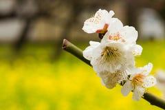 Schließen Sie oben von den weißen Pflaumenblüten Stockbilder