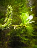 Schließen Sie oben von den Weidenblumen Blühende Weide - Aufwachen der Natur stockfoto