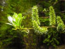 Schließen Sie oben von den Weidenblumen Blühende Weide - Aufwachen der Natur lizenzfreies stockbild