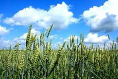 Schließen Sie oben von den Weizenähren Lizenzfreie Stockfotos