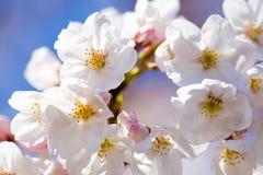Schließen Sie oben von den Yoshino-Kirschblüten Stockfotografie