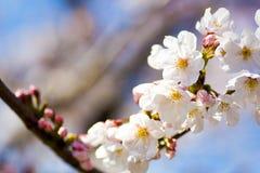 Schließen Sie oben von den Yoshino-Kirschblüten Lizenzfreie Stockfotos