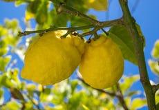 Schließen Sie oben von den Zitronen, die von einem Baum in einem Lemon Grove hängen Stockfoto