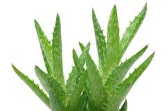 Schließen Sie oben von der Aloe Vera Lizenzfreies Stockfoto