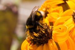 Schließen Sie oben von der Biene auf Blume Lizenzfreies Stockbild