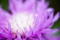 Schließen Sie oben von der blühenden Tünchekornblume Stockbilder