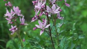 Schließen Sie oben von der Blüte des Dittany (Dictamnus albus) Langsame Bewegung stock footage