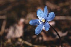 Schließen Sie oben von der blauen Blume in Finnland lizenzfreies stockbild