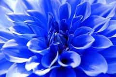 Schließen Sie oben von der blauen Dahlienblume Lizenzfreie Stockfotos