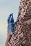 Schließen Sie oben von der blauen Eidechse auf dem Baum Lizenzfreie Stockfotografie