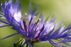 Schließen Sie oben von der blauen Gebirgskornblume Lizenzfreie Stockfotografie