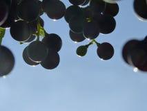 Schließen Sie oben von der blauen Trauben-Gruppe im Sonnenuntergang Stockfoto