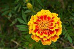 Schließen Sie oben von der Blume der französischen Ringelblume Lizenzfreie Stockfotografie