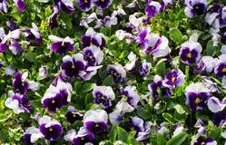 Schließen Sie oben von der bunten violetten Violablume im Garten mit Sonnenlicht, Frühling Italien, Europa Lizenzfreies Stockfoto