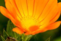 Schließen Sie oben von der Calendulablume Stockbilder