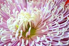 Schließen Sie oben von der Chrysantheme Lizenzfreie Stockfotografie