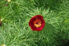 Schließen Sie oben von der einzelnen roten Blume von Paeonia tenuifolia von oben Stockbilder