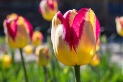 Schließen Sie oben von der einzelnen schönen Tulpe des roten gelben Papageien Lizenzfreie Stockbilder