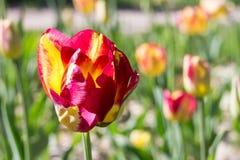Schließen Sie oben von der einzelnen schönen Tulpe des roten gelben Papageien Lizenzfreie Stockfotos