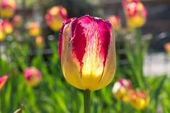 Schließen Sie oben von der einzelnen schönen Tulpe des roten gelben Papageien Lizenzfreie Stockfotografie