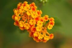 Schließen Sie oben von der Frangipaniblume oder von Leelawadee-Blume Stockbilder