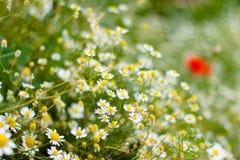 Schließen Sie oben von der Gänseblümchen-Blume Stockfotos