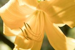 Schließen Sie oben von der gelben Lilie Lizenzfreie Stockfotografie