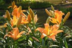 Schließen Sie oben von der gelben Lilienblume in voller Blüte Stockbilder
