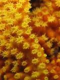 Schließen Sie oben von der gelben weichen Koralle Stockfotos