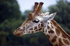 Schließen Sie oben von der Giraffe Stockbild