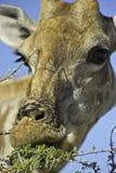 Schließen Sie oben von der Giraffenfütterung Stockbilder
