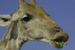 Schließen Sie oben von der Giraffenfütterung Stockfotos