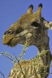 Schließen Sie oben von der Giraffenfütterung Lizenzfreies Stockfoto