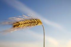 Schließen Sie oben von der goldenen Weizenähre in der Sommerzeit Stockfotos
