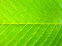Schließen Sie oben von der grünen Blattbeschaffenheit Stockbild