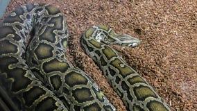 Schließen Sie oben von der großen und bunten Pythonschlange stockfoto