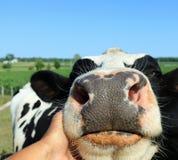 Schließen Sie oben von der Hand, die eine Kuh des Rind- streichelt, die Aufmerksamkeit sich sehnt stockfotos