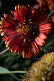 Schließen Sie oben von der Heleniumblume Lizenzfreie Stockfotografie