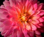 Schließen Sie oben von der hellen rosa Dahlie Stockbild