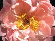Schließen Sie oben von der hellrosa Pfingstrose in voller Blüte Stockfoto
