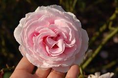 Schließen Sie oben von der hellrosa Rose in den Fingerspitzen stockbild